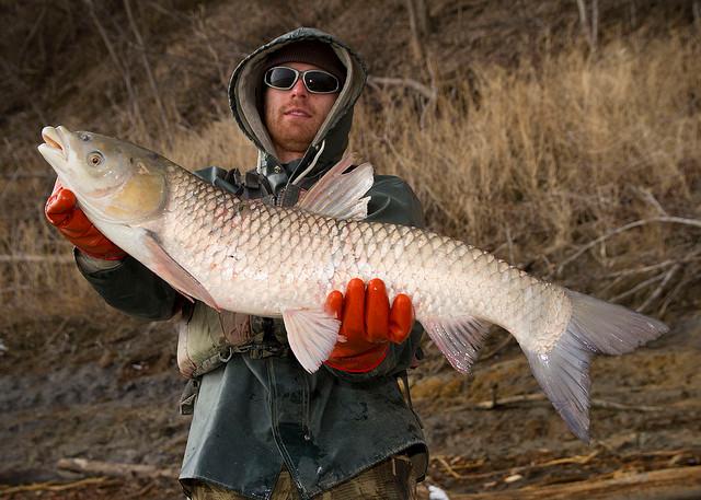 Цены на товарную рыбу белый амур